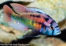 Four Fish Colony Xystichromis phytophagus Christmas fulu 1.5 in African Cichlid