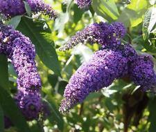 BUTTERFLY BUSH VIOLET Buddleia Davidii - 200 Bulk Seeds