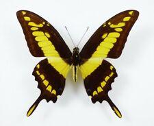 Papilio thoas Männchen