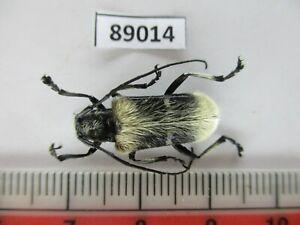 89014*****Cerambycidae sp. Vietnam North****