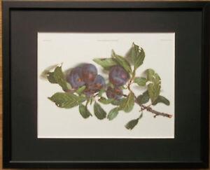 Prunus Domestica - Carlos Von Riefel - 20''x16'' frame, plums wall art