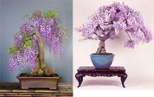 10Pcs Rare Wisteria Bonsai Seeds Mini Bonsai Tree Indoor Ornamental Plant HX107