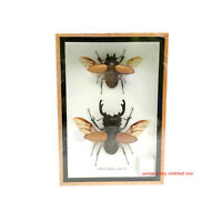 Real 2 Spread Wings Stag Beetle Insect Taxidermy Entomology Display Shadow Box