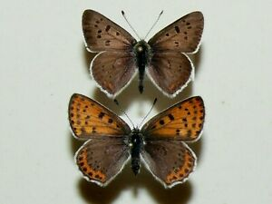 Lycaena tityrus - Sooty Copper - pair