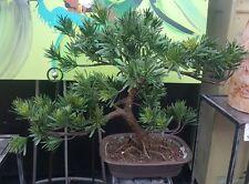 Artificial Bonsai Pot 80cm Large RRP $495  **50%OFF**