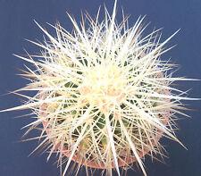 Echinocactus Grusonii albispina cm 10/12