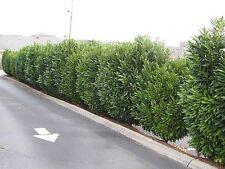 2 Schip Laurel Plants(Prunus laurocerasus)3 ' containers