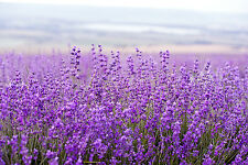 STUNNING Lavender Field in Provence Canvas #403 Wall Hanging Picture Art A1