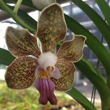 Vanda tessellata x Vanda denisoniana Orchidée = Top Highlight + particulièrement Désire