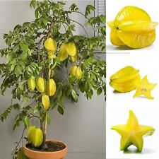 50 Pcs/Pack Organic Fruit Seed Averrhoa Carambola Star fruit Exotic Seed Edible