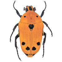 Euchroea auripimenta ONE REAL ORANGE SCARAB BEETLE MADAGASCAR UNMOUNTED