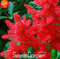 100 Pcs Seeds Astilbe Chinensis Bonsai Balcony Garden Potted Flowers Plants NEW