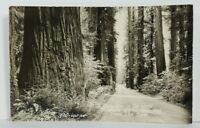 Rppc The Beautiful Redwoods, Nowhere Else in the World Like These Postcard N20