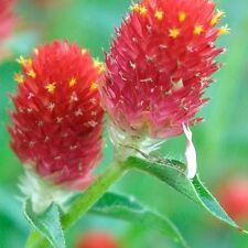 Globe Amaranth Strawberry Fields Seed Cut Flower Colour