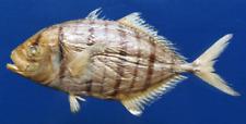 Golden trevally Gnathanodon speciosus Fish Taxidermy Oddities