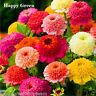 ZINNIA CANDY CANE MIX - 150 SEEDS - Zinnia Elegans Scabiosa - FLOWER