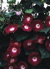 Morning Glory Ipomoea Crimson Rambler Annual Seeds