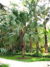 Schermo cinese Palma-scomparti Palma-livistonia 10 Semi Top-stanza pianta