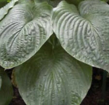 North Pacific High Hosta Seeds! PERENNIAL! COMB. S/H! MORE HOSTA IN OUR STORE!