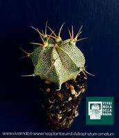 ASTROPHYTUM ORNATUM alveolino 1 Pianta plant cactus astrofito