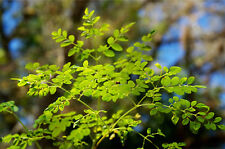 100 Moringa Oleifera Samen, PKM 1 handgepflückt, höchste Qualität