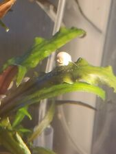 4 Ivory Mystery Snails.Gorgeous Color, Pea Size 2 Doa
