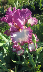 * CLEARING SALE * TALL BEARDED IRIS - **BALLET PERFORMANCE** -WHITE LILAC ROSE