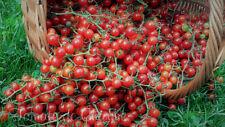 10 graines de tomate rare Sweet Pea Currant très petite très sucrée méth.bio