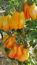 10 graines de tomate très rare Drapée beauté et émerveillement.. heirloom m.bio