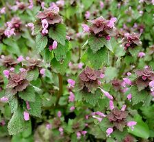 25 Organic Purple Dead-Nettle Seeds ~Lamium purpureum Archangel Free Us Shipping