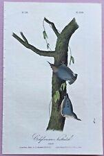 1842 CALIFORNIAN NUTHATCH from Audubon's BIRDS of AMERICA1st Ed/Octavo Pl #250