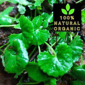 Ceylon Dried Gotu Kola Tea Centella Asiatica Remedy Traditional Longevity Herb
