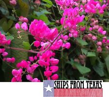 Antigonon Leptopus, Coral Vine, Queen'S Wreath, Easy Everblooming Vine, 100 Sds