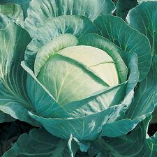 Vegetable Seeds  - Cabbage - Brigadier - 40 Seeds