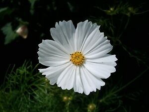 Cosmea / Schmuckkörbchen * weiss * 30 Blumensamen * handverlesen