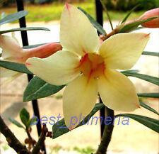 """Adenium Obesum """"Yellow_Mahamongkol"""" Fresh 50 Seed"""
