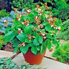 Vegetable Runner Bean Hestia Dwarf - 35 seeds