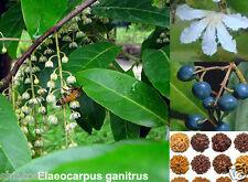 "ONE Rudraksha Plant, SHP-5260, (Elaeocarpus ganitrus)10""height- with poly pack"