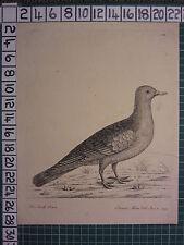 1735 DATED PRINT THE STOCK DOVE ~ ANTIQUE BIRD PRINT ELEAZER ALBIN ~