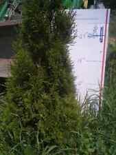 "1 Emerald Green Arborvitae Tree 35""-42 (5) Yr transplants"