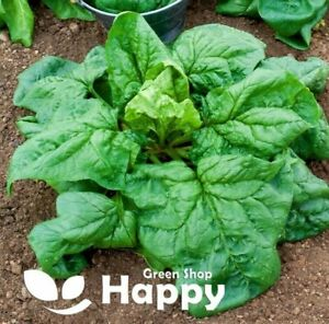 VEGETABLE - SPINACH WINTER GIANT - 300 SEEDS - Spinacia Oleracea - Heirloom