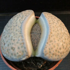 Lithops sp. MATURE & BIG SPECIMEN!!! cod. ebay-14