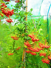 Instant Evergreen Hedging 9-10ft Thorny Pyracantha RED BERRY Anti-Burglar hedge!