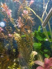 5+ Rooted Stems Rotala Rotundifolia. Live Aquarium Plants. Fast ship to USA/CAD