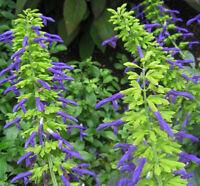 Salvia mexicana Limelight pint plant