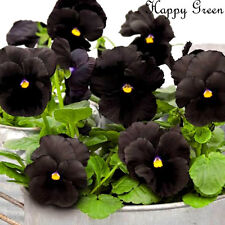 PANSY BLACK - 250 seeds - BIENNIAL FLOWER  Viola wittrockiana LARGE FLOWER HEADS