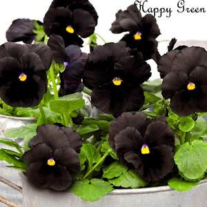 PANSY BLACK - 150 seeds - BIENNIAL FLOWER  Viola wittrockiana LARGE FLOWER HEADS