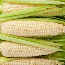 Hardy Variety* Giant White Sweet Corn *7- Finest Seeds* UK Seller *