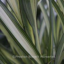 Phormium Cream Delight New Zealand Flax