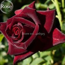 Black Baccara Rose Shrub 50 seeds Home Garden Ornamental Bonsai Plant Big Bloom